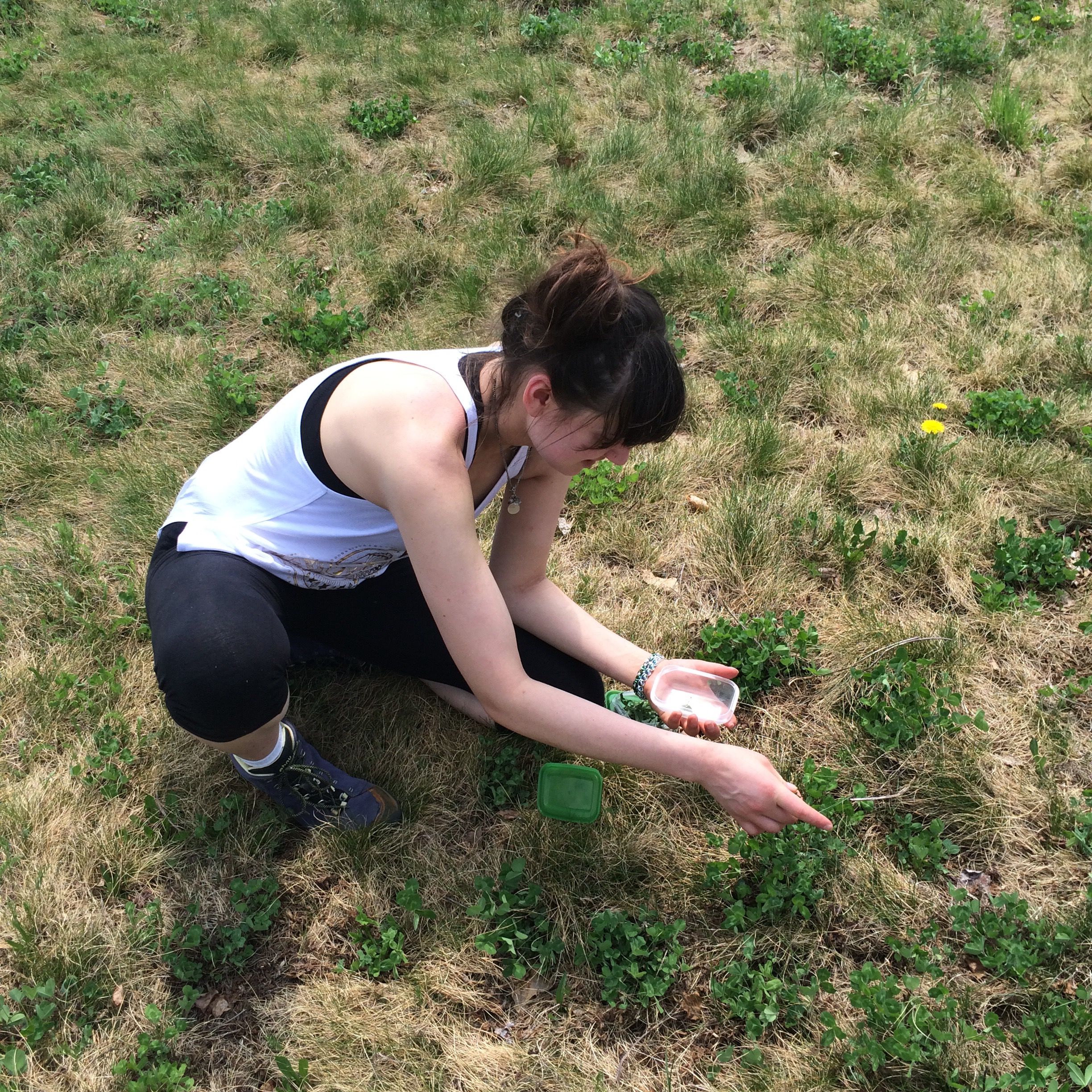 foraging for dandelion greens and clover